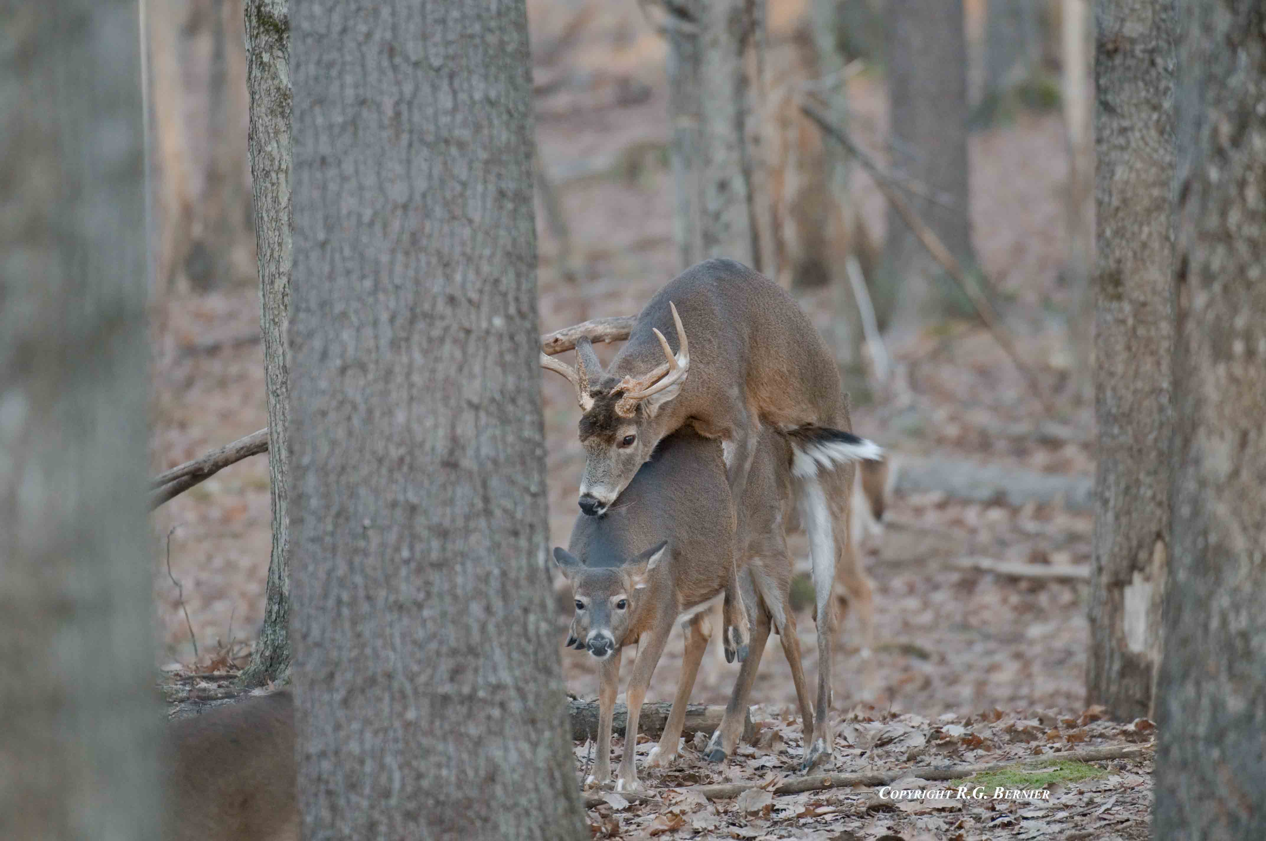The deer hunter's guide to whitetail glands