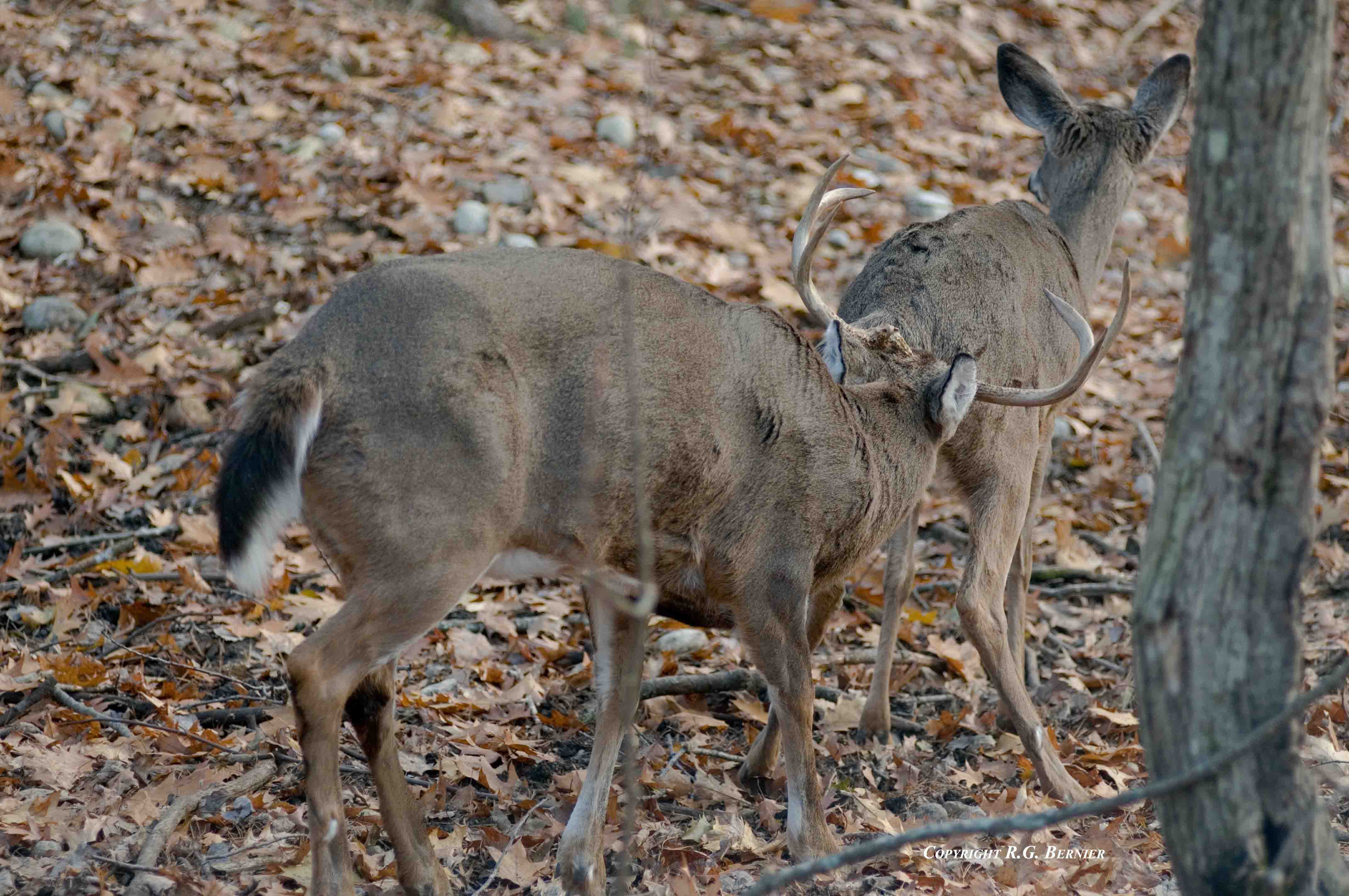 Whitetail Deer Mating Picture http://bigwhitetail.files ...