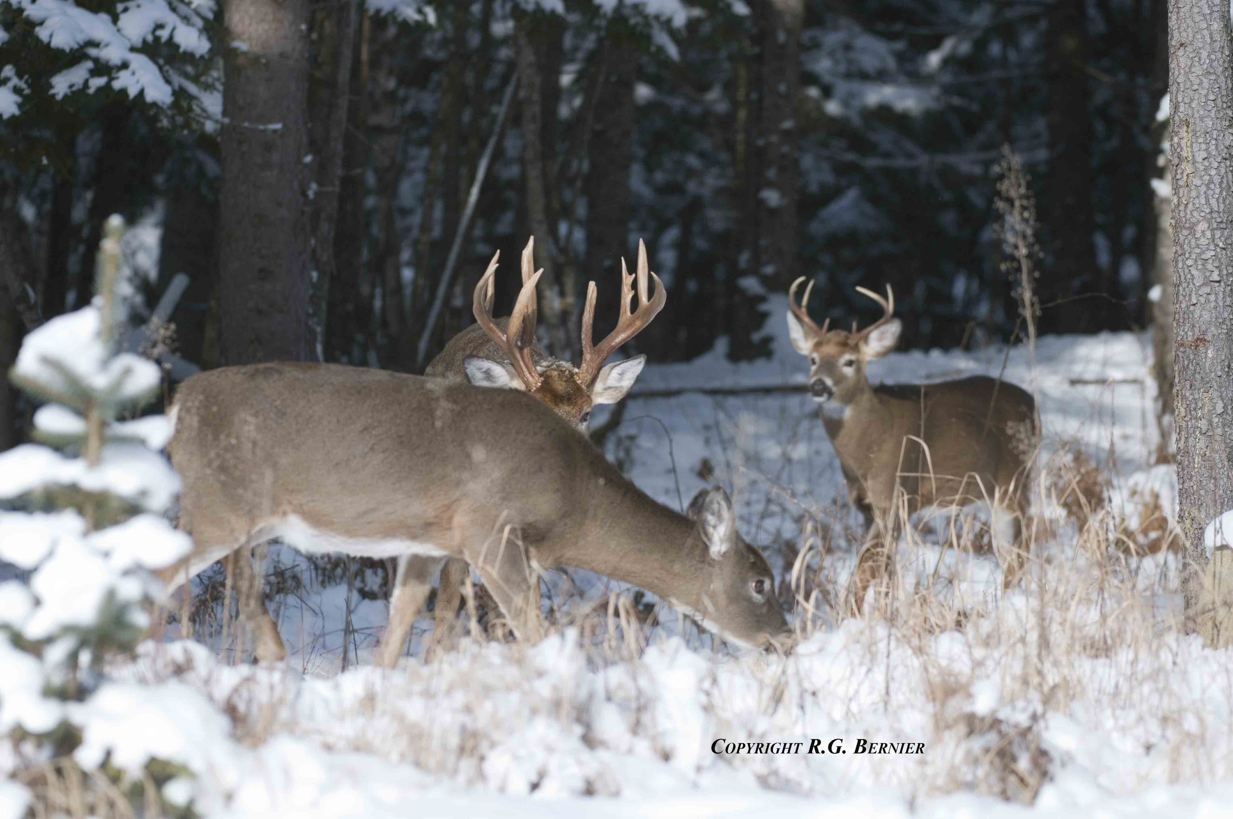 deer chat Ox ranch is the most exciting whitetail deer hunting ranch in texas we have over 18k acres of whitetail deer hunting, tank driving & shooting, caving etc.