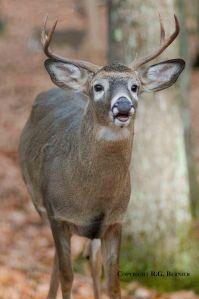 Quality Deer