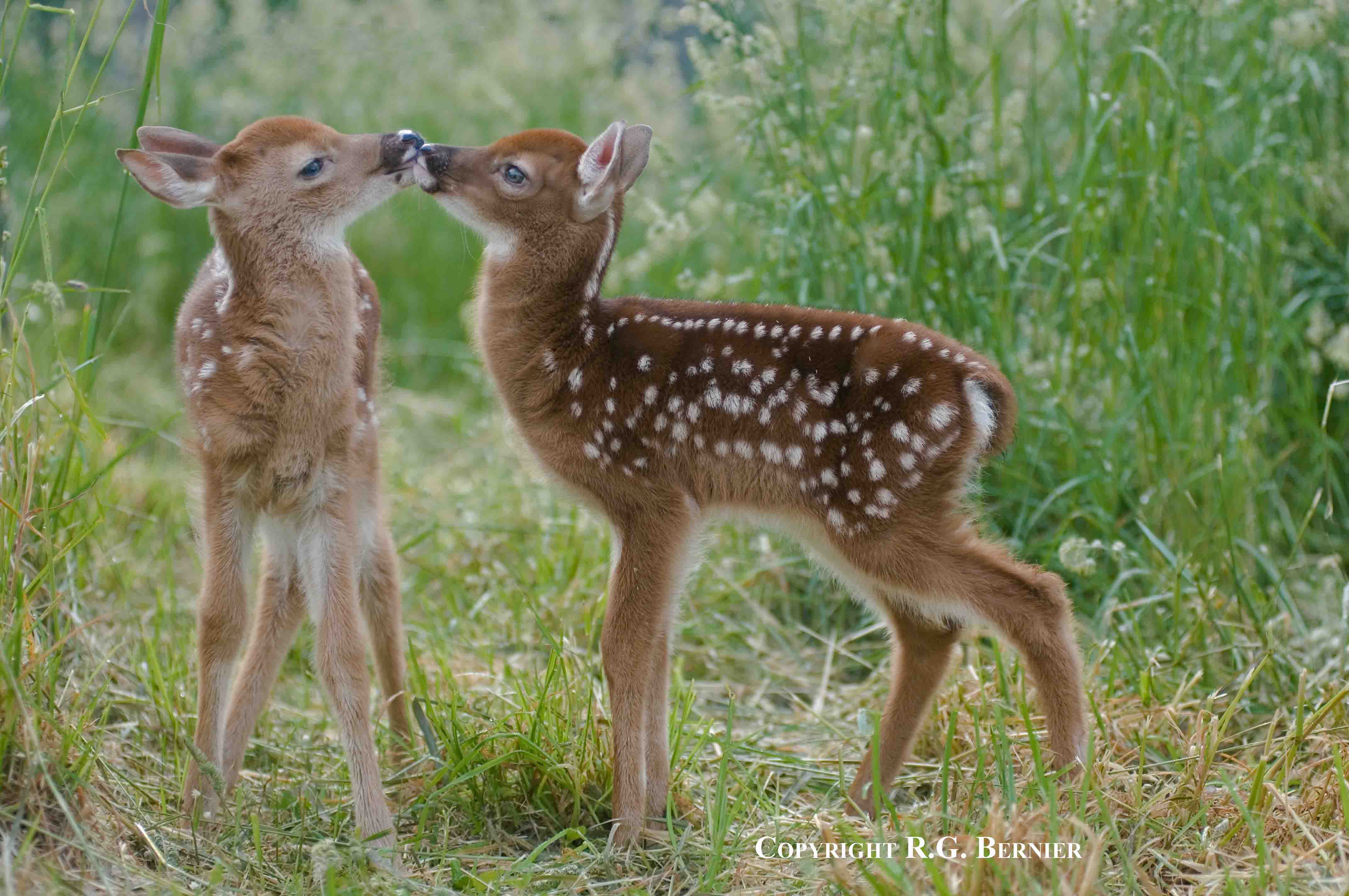 baby whitetail fawn in - photo #11