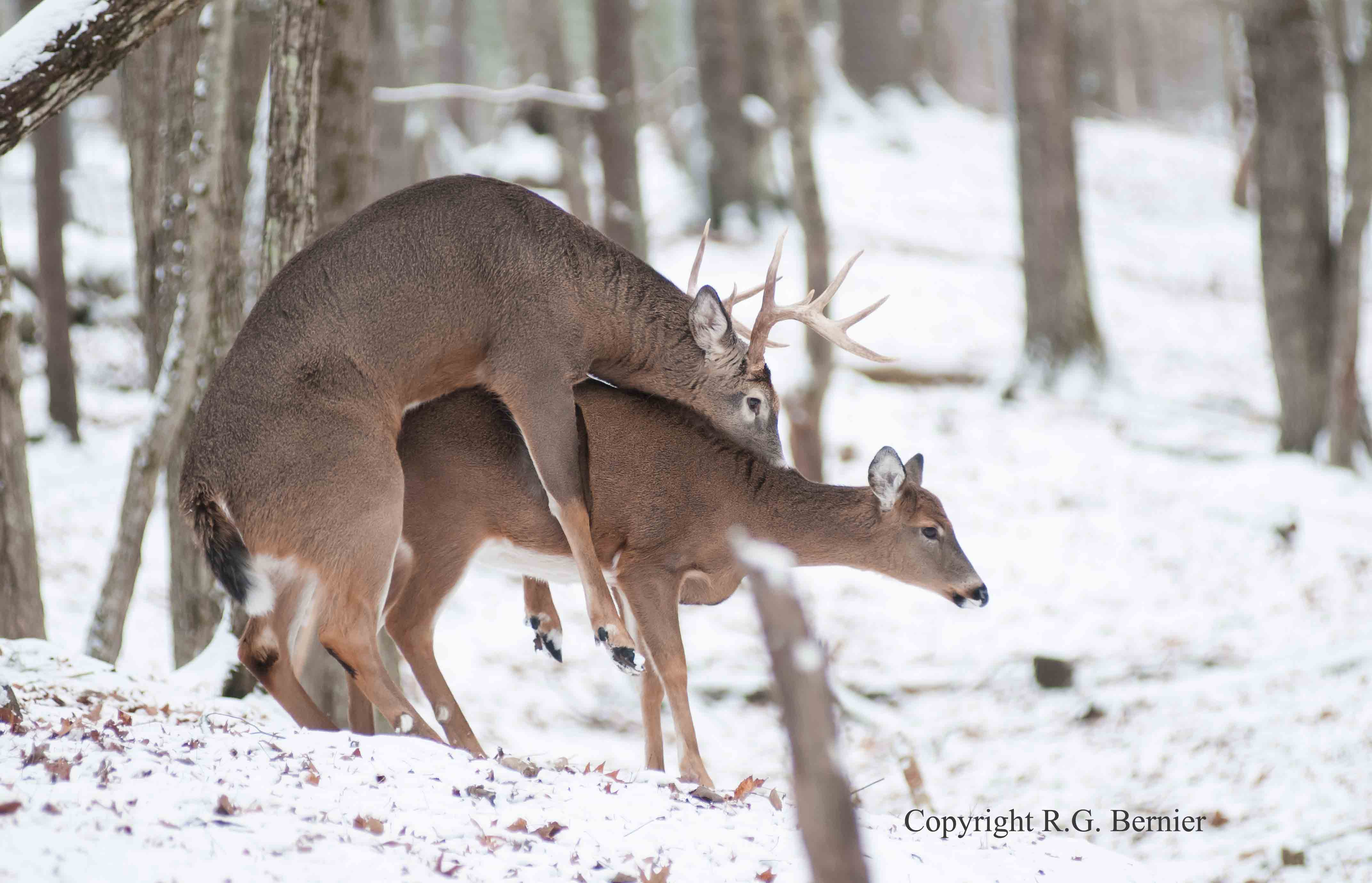 ... , ... , 2015 Rut Prediction Weekend Rut Timing Whitetail | Share The