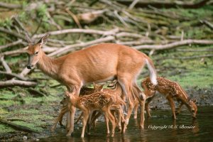 Copy of 5fawns