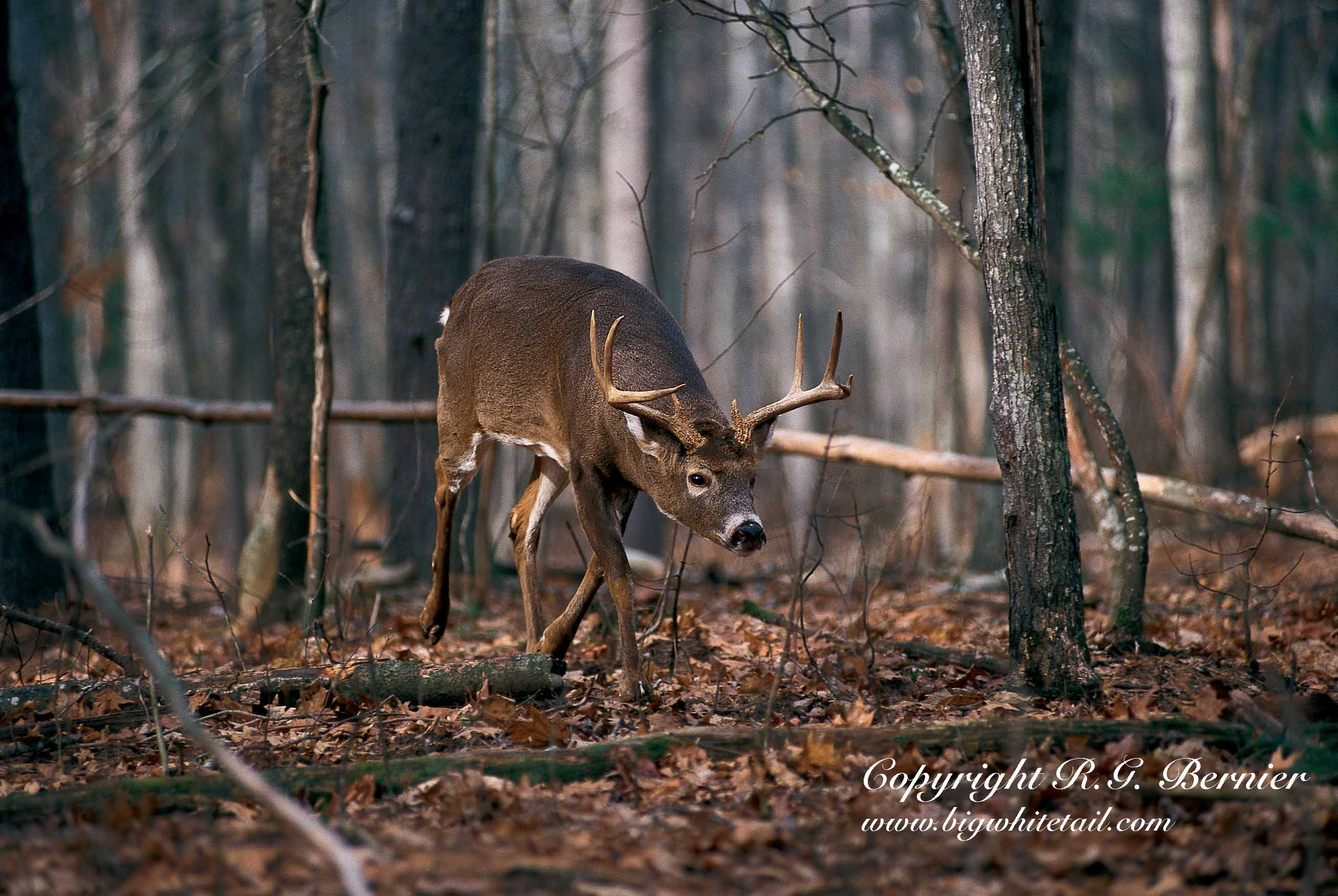 how to attract big bucks in the fall